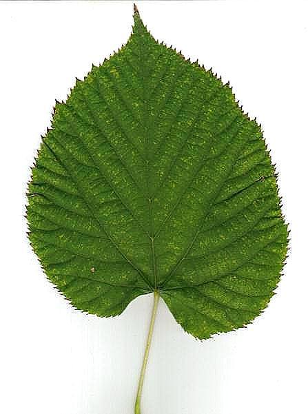 Image gallery nombre hojas de arboles for Arboles de jardin de hoja caduca