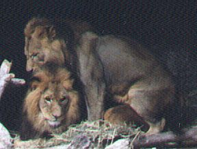 lion sexual intercourse