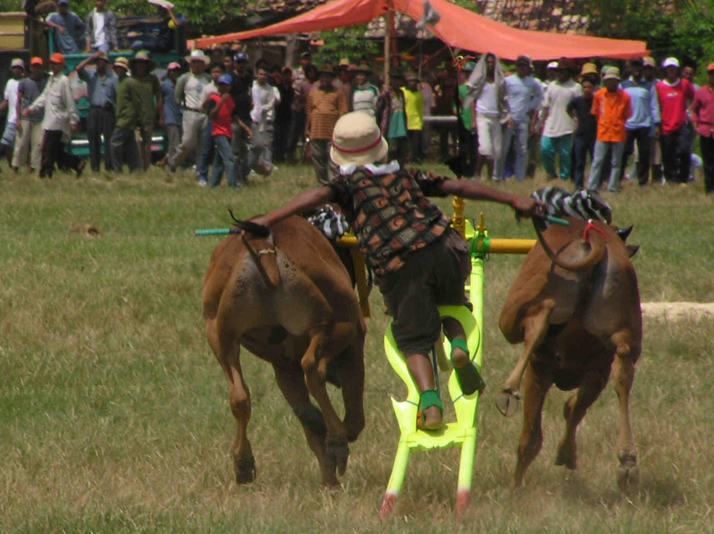 Madura Bull Races - East Java Forum