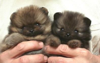 Brown Pomeranian Puppy Toy