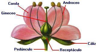 Flor hermafrodita y unisexual