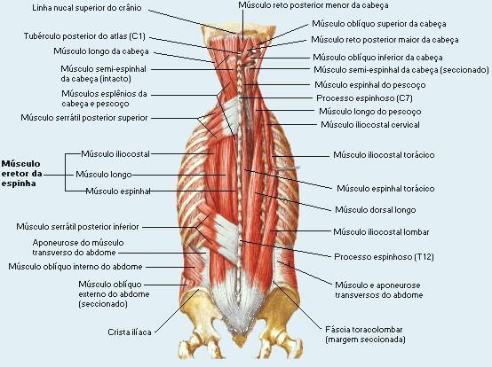 musculo+transverso+do+abdome+origem+e+inserção