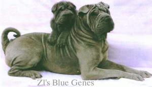 shar-pei bleu ZI's Blue Genes